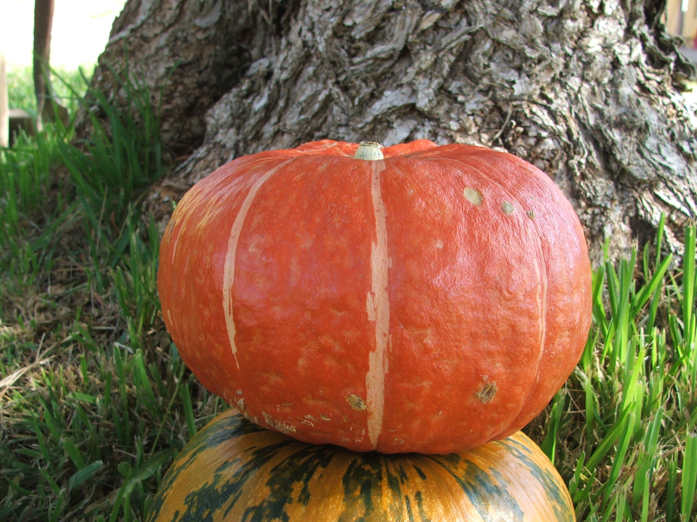 is one of my first fall treats using the lovely kabocha or pumpkin ...